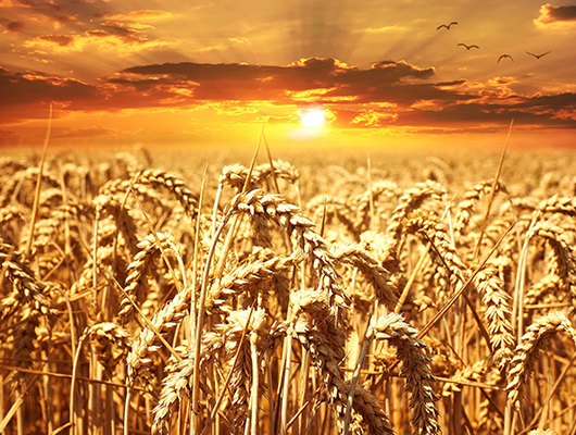 Wheat Grain - INVESTMENT OPPORTUNITIES